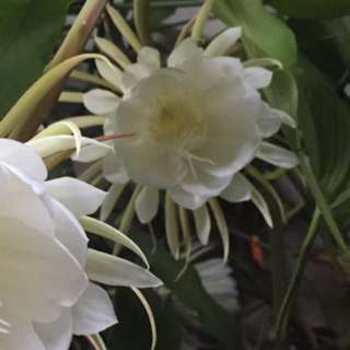 White Epiphyllum Oxypetalum Stem / Leave Cutting