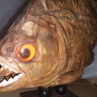 Brazilian piranha specimen10吋巴西食人魚標本