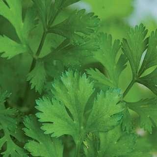 Gardening ♡ Cilantro / Coriander Seeds X 30 (From US)