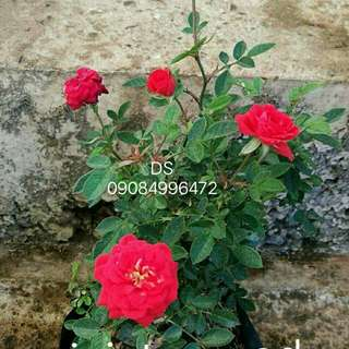 Real rose plant (bare root)