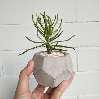 Succulent sedum