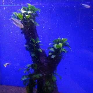 Anubias plant with bogwood