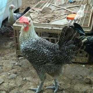 1 Paket Ayam Arab Betina 10 ekor