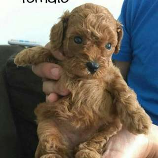 TOY RED POODLE