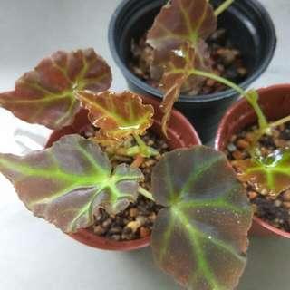 Begonia rubida