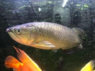魚 星點金龍 18吋