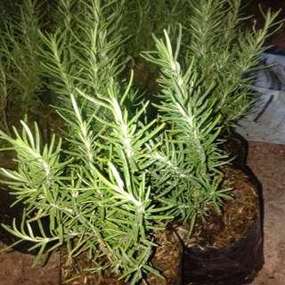 Tanaman rosemary/tanaman pengusir nyamuk dan herbal