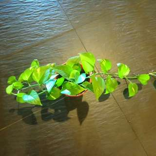 Money Plant Promotion