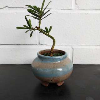 Mini podocarpus bonsai