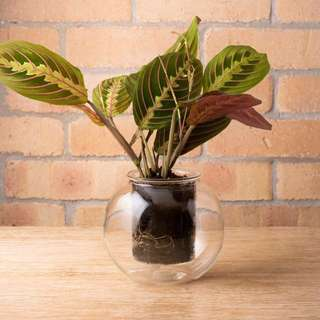 Glass self-watering pot (w Maranta Tricolor plant)