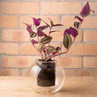 Glass self-watering pot with Wandering Jew plant