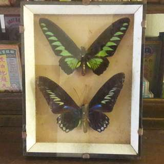 Vintage Rajah Brook butterflies