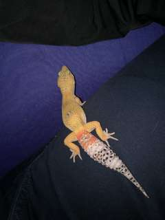 gecko male
