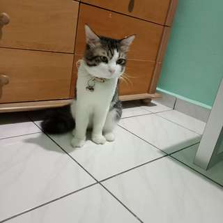 Domestic shorthair cat for adoption