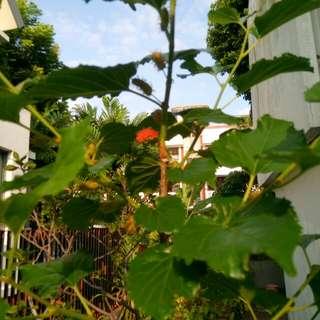Organic Mulberry Plant Cutting