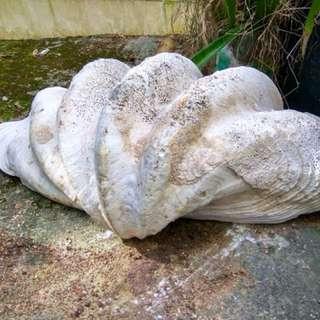 大型深海貝殼🐚 水族用品decoration for aqua emporium