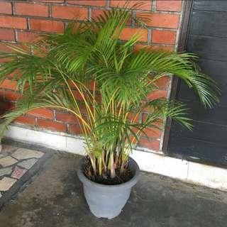 Acacia Palm Tree