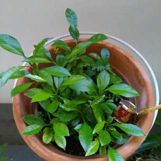 Lime plants - organic & pesticides free