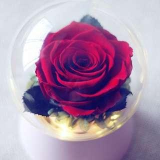 Preserved Ecuadorian rose in music box