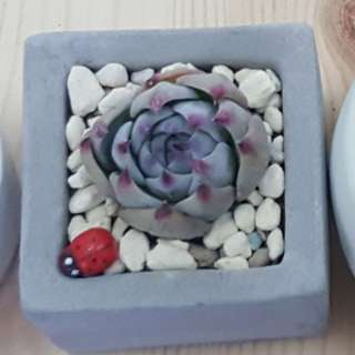 Succulents =Ready stock