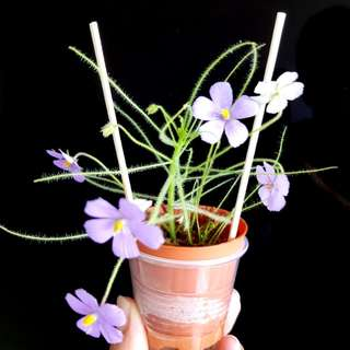 Easy grow plants that fight against mosquitoes.(young byblis)
