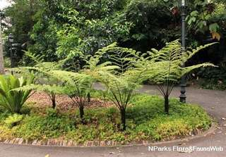 Tree Fern, Paku (Cyathea latebrosa) -Preordering required