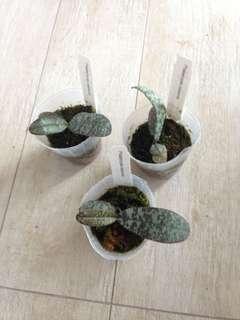Phalaenopsis celebensis (Phalaenopsis species)