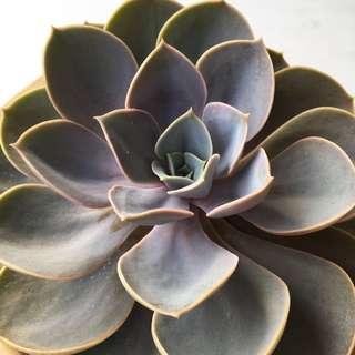 Succulent Echeveria Perle Von Nurnberg In Stock Now