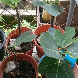 Anak pokok fig/tin