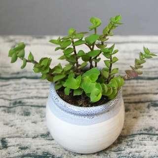 易種小盆栽 紫背水竹草 連盆 16cm(H) Indoor Plant With Pot  耐陰 生長快