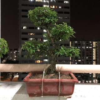 Mini Shui Mei Bonsai