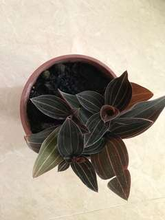 Jewel orchid for sale