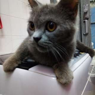 British Shorthair Bsh