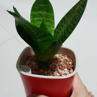Black Robusta Snake Plant