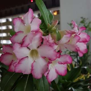 Sweet and bushy pink rim adenium plant