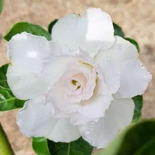 Elegant white rose adenium plant (reserved)