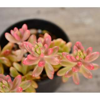 Sedum Rubrotinctum 'Aurora' Pink Jelly Bean Succulent Plant Grown in 8 cm Pot