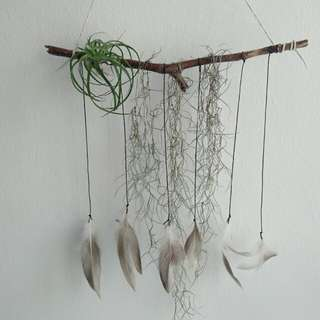 Decorative or Gift: Airplant / Spanish Moss with Natural Branch