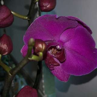 Orchid Phalaenopsis Exotic Beautiful Rare Rich Deep Purple Species.