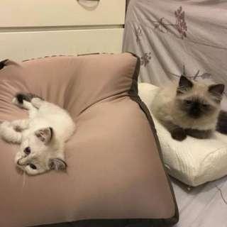 純正血統貓咪