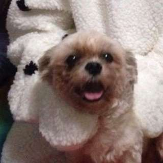 Looking for Lhaso apso female for trial stud no pcci paper