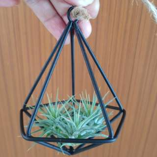 Mini & Cute Air Plant with hanger For Sale!