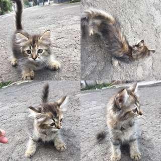 Kucing persia menkun ( adopsi seharga makanan)