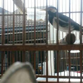 Burung jalak suren suara banyak gacor