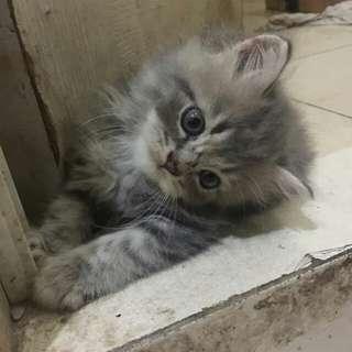 Kucing Persia Flatnose 2 Bln, Bulu Kapas, Panjang, Lebat