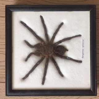 Eurypeima Soinicrus 標本