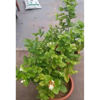 Moving out sale / Clearance / CNY / Jasmine plant, Horticulture, soil, garden, gardening, tree, Plant, bonsai, nursery, flowers and gifts.furniture, home decore,