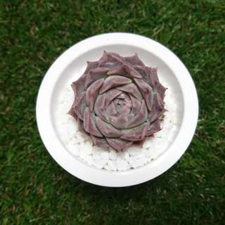 RARE SUCCULENT (HURRY SELLING FAST)