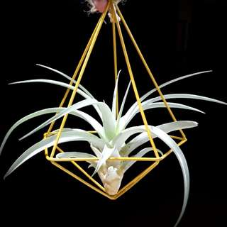 Airplant for gift!