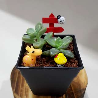 Succulent for office & gift!